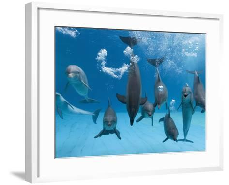 Bottlenose Dolphins Dancing and Blowing Air Underwater-Augusto Leandro Stanzani-Framed Art Print