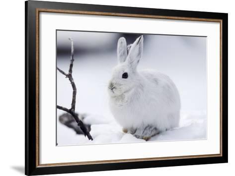 Snowshoe Hare in Snow--Framed Art Print