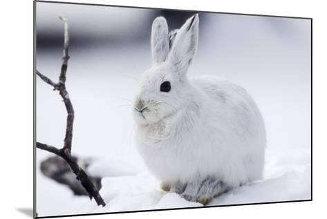 Snowshoe Hare in Snow--Mounted Photographic Print