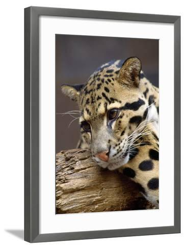 Clouded Leopard Close Up of Face--Framed Art Print