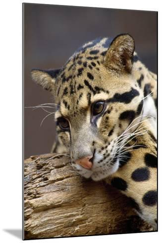 Clouded Leopard Close Up of Face--Mounted Photographic Print