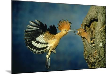 African Hoopoe in Flight Feeding Brooding Partner--Mounted Photographic Print