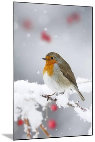 European Robin in Snow, Close-Up Showing Puffed--Mounted Photographic Print