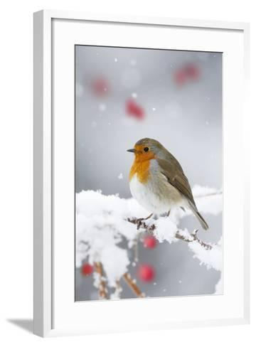 European Robin in Snow, Close-Up Showing Puffed--Framed Art Print