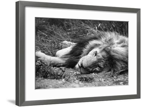 Sleeping Lion--Framed Art Print