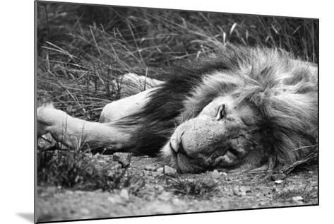Sleeping Lion--Mounted Photographic Print