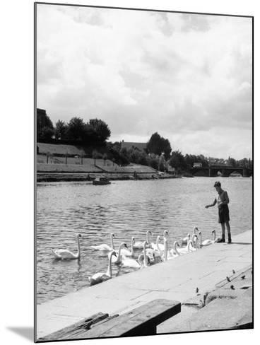 Feeding the Swans--Mounted Photographic Print