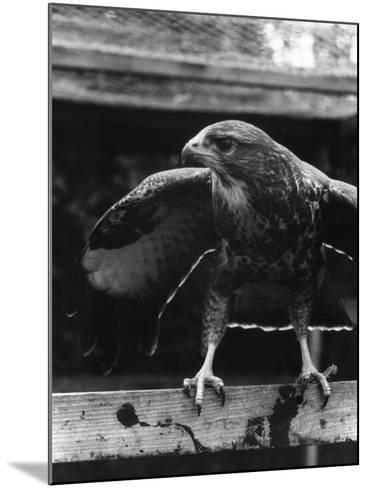 Buzzard--Mounted Photographic Print