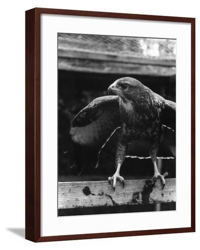 Buzzard--Framed Art Print