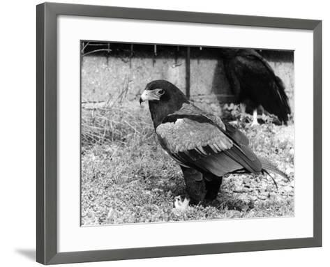 Batelur Eagle--Framed Art Print