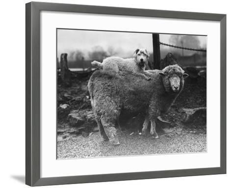 Sealyham Riding a Sheep--Framed Art Print