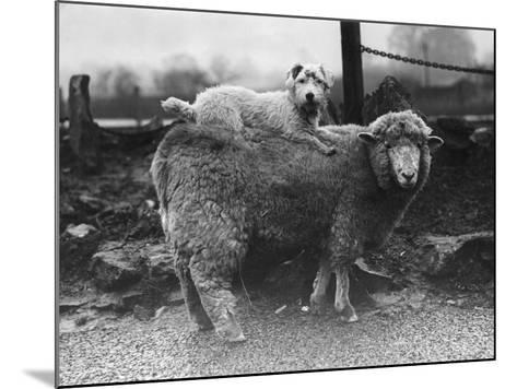 Sealyham Riding a Sheep--Mounted Photographic Print