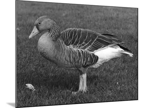 Grey Lag Goose--Mounted Photographic Print