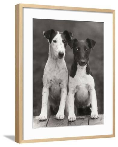Smooth Fox Terriers-Thomas Fall-Framed Art Print