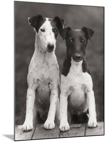Smooth Fox Terriers-Thomas Fall-Mounted Photographic Print