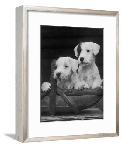 Two Unnamed Sealyhams Sitting in a Trug-Thomas Fall-Framed Art Print