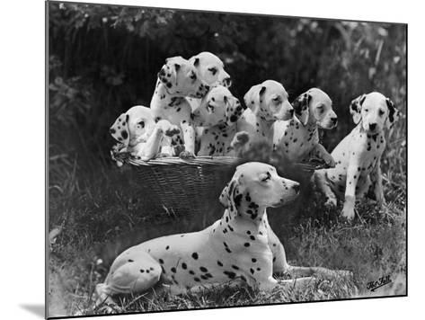 Postchaise Pluto One of Mrs Rowberry's Bitches with Her Puppies in a Basket-Thomas Fall-Mounted Photographic Print
