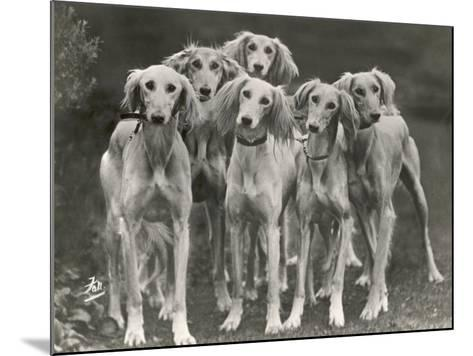 Group of Salukis Registered in Miss Doxford's First Litter by Sarona Kelb Ex Tazi of Ruritania Born-Thomas Fall-Mounted Photographic Print