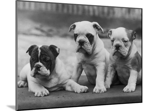 Three Bulldog Puppies Owned by Monkland-Thomas Fall-Mounted Photographic Print