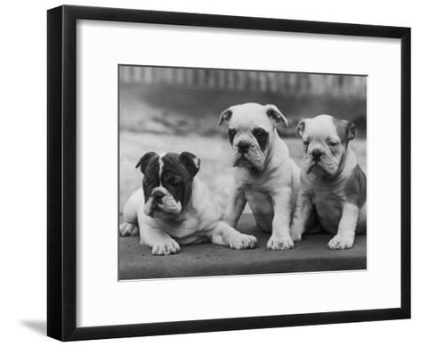 Three Bulldog Puppies Owned by Monkland-Thomas Fall-Framed Art Print