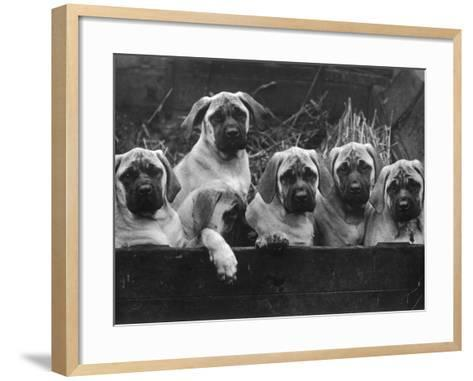 Row of Mastiff Puppies Owned by Oliver-Thomas Fall-Framed Art Print