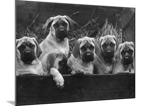Row of Mastiff Puppies Owned by Oliver-Thomas Fall-Mounted Photographic Print