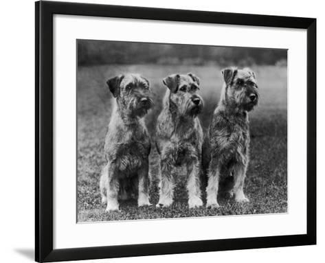 Three Schnauzers Sitting Together--Framed Art Print