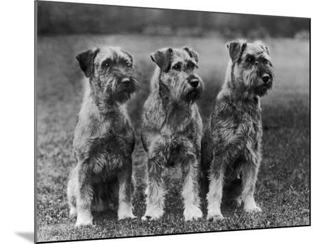 Three Schnauzers Sitting Together--Mounted Photographic Print