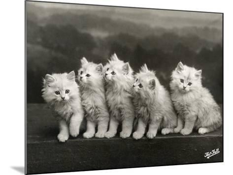 Row of Five Adorable White Fluffy Chinchilla Kittens-Thomas Fall-Mounted Photographic Print