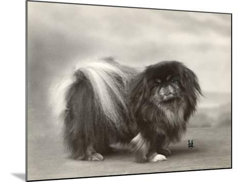 Champion Chien Lung of Wybournes Owned by Mrs Bevington--Mounted Photographic Print