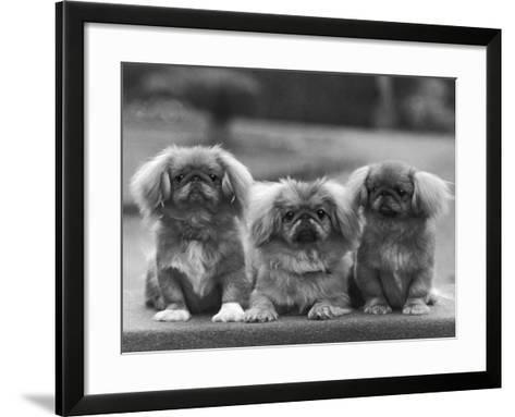 Three Pekingese Puppies One Lying the Other Two Sitting--Framed Art Print