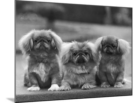 Three Pekingese Puppies One Lying the Other Two Sitting--Mounted Photographic Print