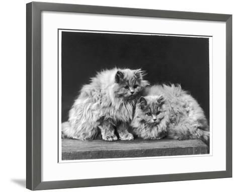 Pair of Very Fluffy Blue Persian Cats Sit Together--Framed Art Print