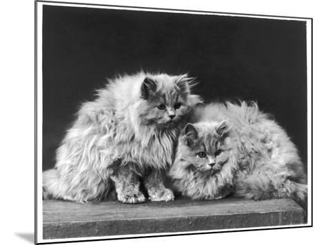 Pair of Very Fluffy Blue Persian Cats Sit Together--Mounted Photographic Print