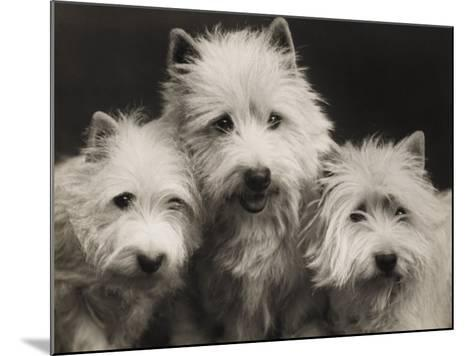 Three Westie Heads All Owned by Miss De Berry--Mounted Photographic Print