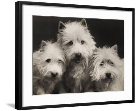 Three Westie Heads All Owned by Miss De Berry--Framed Art Print