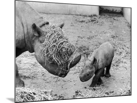 Black Rhinoceros with Straw on Her Face Playing with Her Baby Rhino!--Mounted Photographic Print