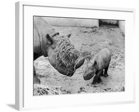 Black Rhinoceros with Straw on Her Face Playing with Her Baby Rhino!--Framed Art Print