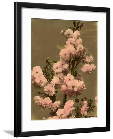 Cherry Blossom on a Branch--Framed Art Print