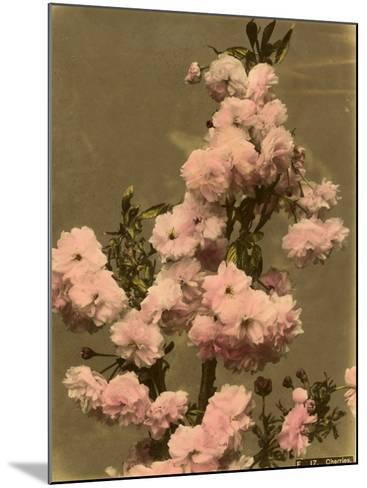Cherry Blossom on a Branch--Mounted Photographic Print