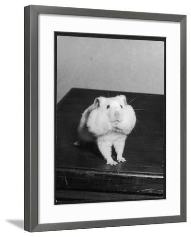A Hamster with its Pouches Stuffed with Food--Framed Art Print