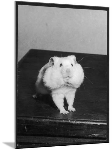A Hamster with its Pouches Stuffed with Food--Mounted Photographic Print