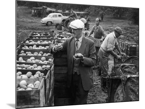 Harvesting Apples--Mounted Photographic Print