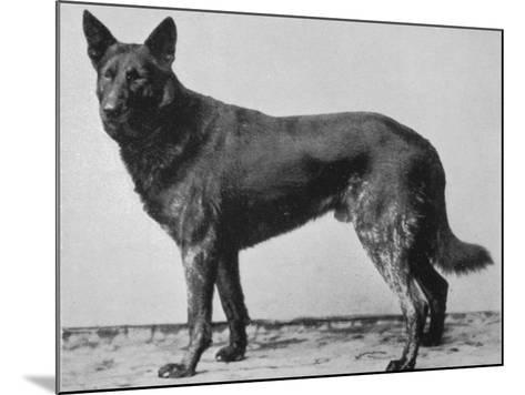 German Shepherd Beowulf--Mounted Photographic Print