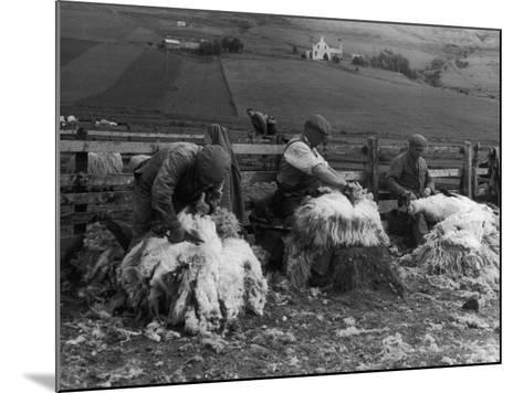 Sheep Shearing at Carbost, Isle of Skye, Scotland--Mounted Photographic Print