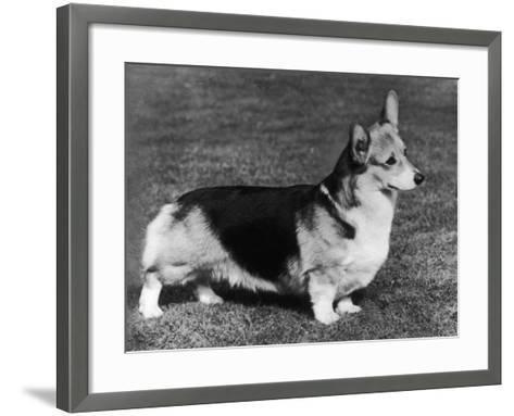 Pembroke Welsh Corgi CH Belroyd Jacana--Framed Art Print