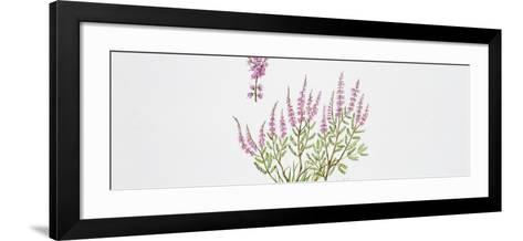 Heather (Calluna Vulgaris), Illustration--Framed Art Print
