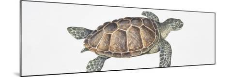 Green Turtle (Chelonia Mydas), Illustration--Mounted Photographic Print