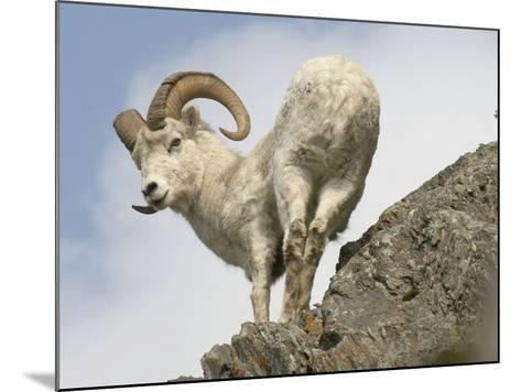 Alaska, Anchorage, Precarious Perch: 50,000 Dall Sheep Call Alaska Home-Bill Roth-Mounted Photographic Print