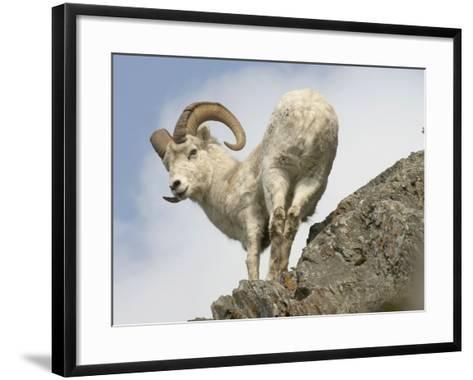 Alaska, Anchorage, Precarious Perch: 50,000 Dall Sheep Call Alaska Home-Bill Roth-Framed Art Print